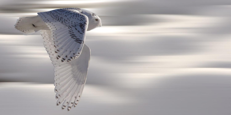 Owl in Yellowstone
